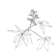#1129 Aesculus Glabra
